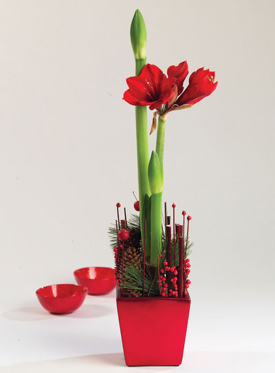 4_jul_amaryllis_rod_plante